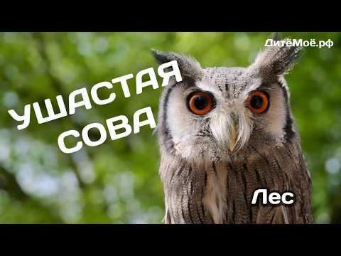 Ушастая Сова. Энциклопедия для детей про животных. Лес