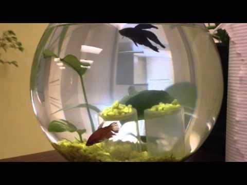2 bettas qui cohabitent male bleu femelle rouge d for Aquarium vase pour poisson rouge