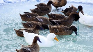 DUCKS swimming in a pond in January. May you be this happy one day.