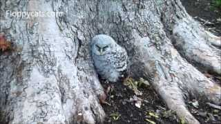 Barred Owl and Owlet in Backyard in Fairway, KS - ねこ - ラグドール - Floppycats