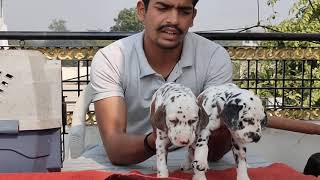 Show quality Dalmatian male puppies available for sale all India Transport available call 8602929599