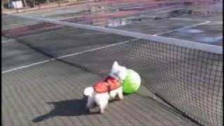 Westie Big Green Ball