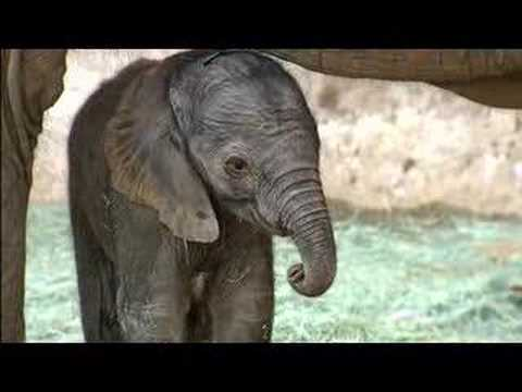 Baby Elephant Born at the San Diego Zoo Safari Park