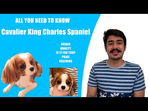 CAVALIER KING CHARLES SPANIEL IN INDIA | PUPPIES PRICE IN INDIA | CHECK QUALITY| PERFECT FOR YOU