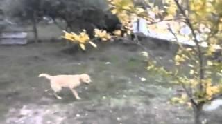 Λαμπραντορ με τσοπανοσκυλο