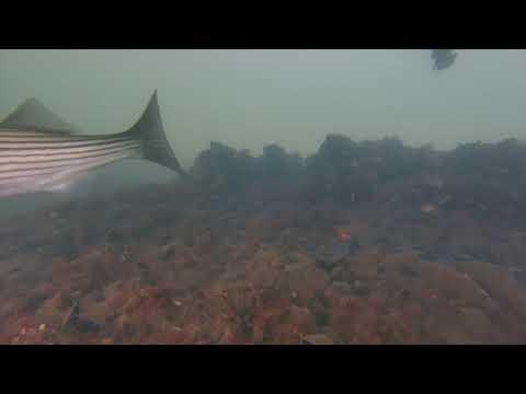 Lake Merritt Underwater Observatory May 12, 2019 Yellow shore crab and Striped Bass
