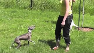 Mini Bull Terrier Jumping Non-stop.