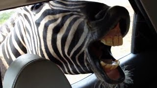 SAFARI ANIMALS - World's Funniest PEOPLE Reactions