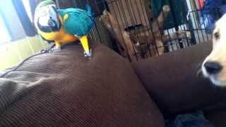 Golden retriever playing with blue and gold macaw