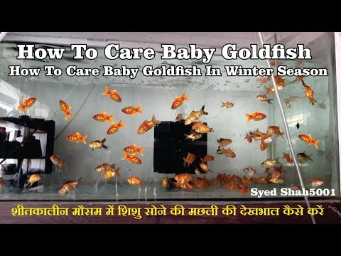 How To Care Baby Goldfish Fish | Goldfish Fry's Care