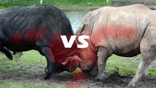 Walki Zwierząt - Nosorożec vs Bawół (#1)
