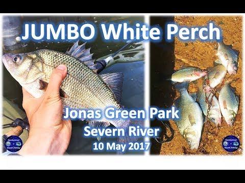 JUMBO White Perch Fishing At Jonas Green, Severn River, 10 May 2017