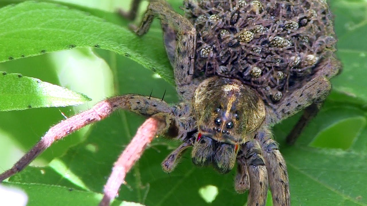 wolf spider Wolf spider habitat and webs wolf spiders can be found in a wide range of habitats both coastal and inland these include shrub lands, woodland, wet coastal forest.