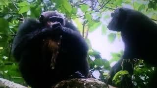 【閲覧注意】 チンパンジーがアカコロブスを襲い生きたまま肉を切り裂き...