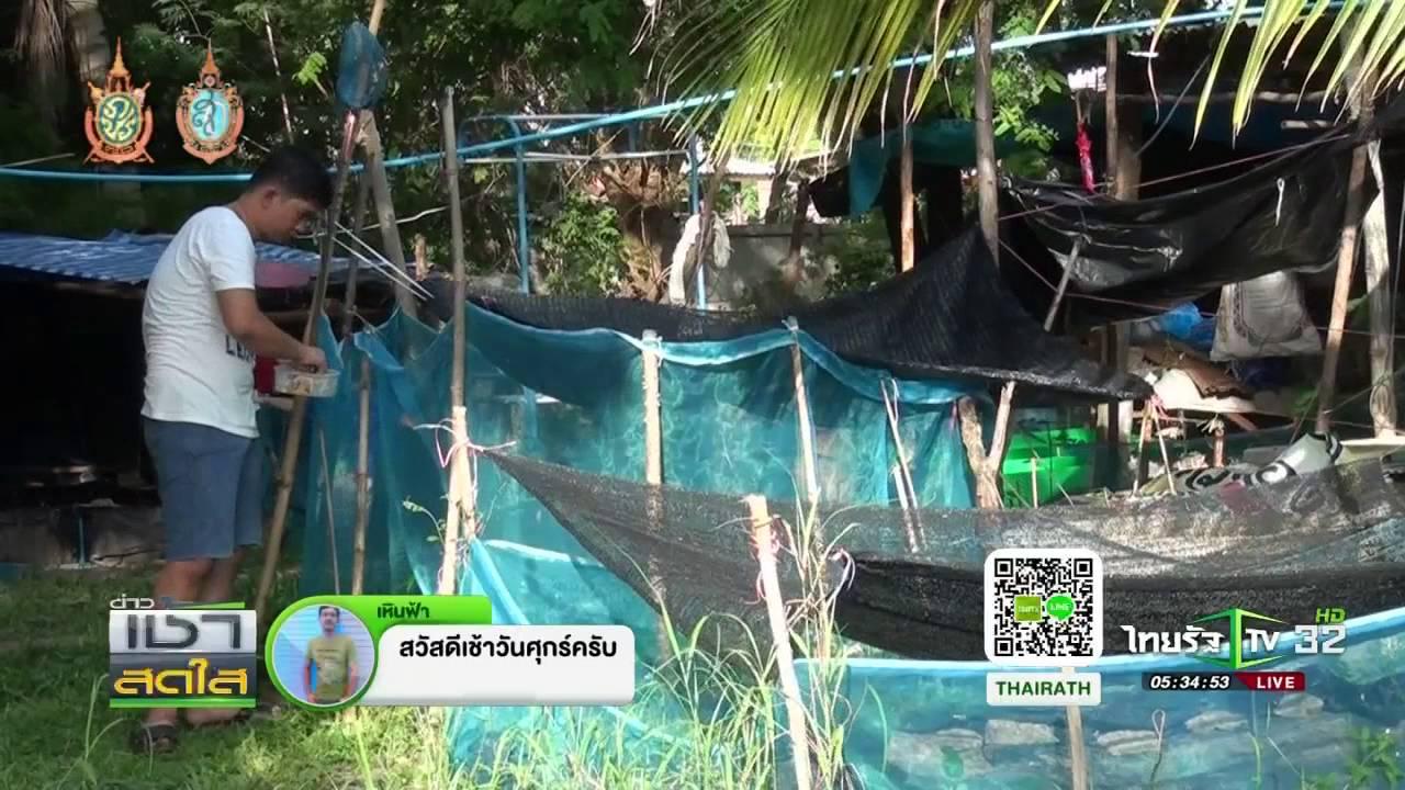 สกลนคร เลี้ยงกุ้งก้ามแดงขาย | 26-08-59 | เช้าข่าวชัดโซเชียล | ThairathTV