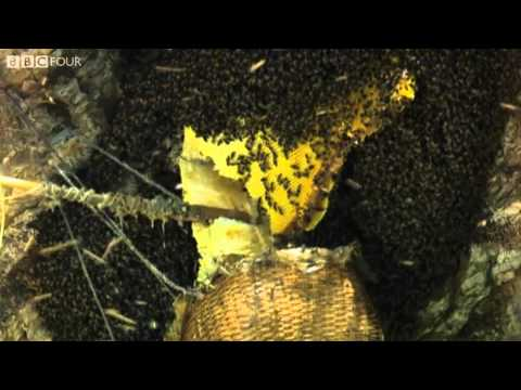 Nepal Mountain Dwellers steal from Giant Honey Bees – Insect Worlds – Episode 1 Preview – BBC Four