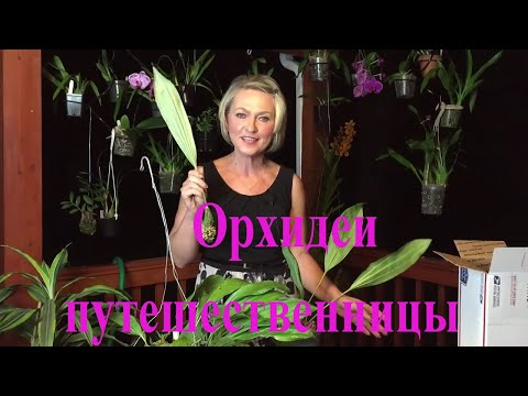 Как я поливаю орхидеи морковки