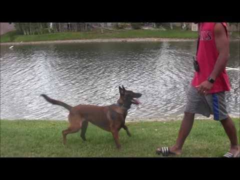 Dog Tricks turn into Serious Protection Dog Training!
