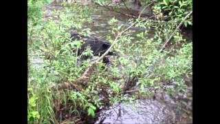 Steep Creek Bears - Clam Soup