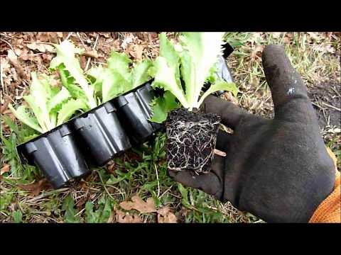 Comment planter des ananas doovi - Comment planter des poivrons ...