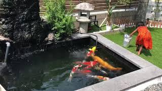 #koipond #koi pond# turex