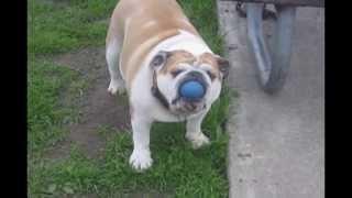 Бульдог смешно ловит мяч