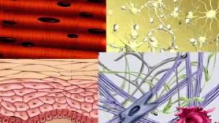 тканичеловека.mov(Ткани человека., 2010-08-26T17:59:56.000Z)