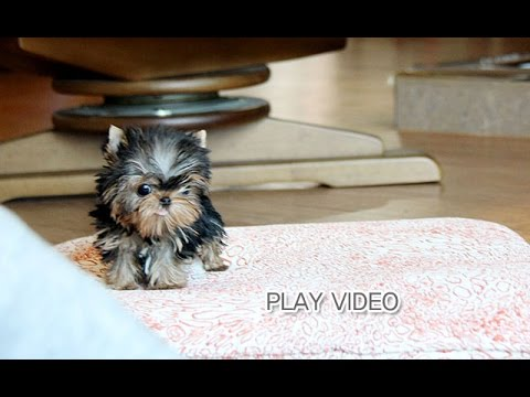 Micro Teacup Yorkie For Sale