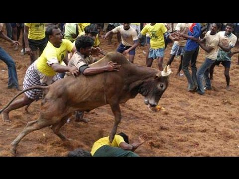 Jallikattu conducted in Cuddalore despite SC ban