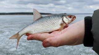Закрытие зимнего сезона Клёв плотвы по последнему льду на Старооскольском водохранилище
