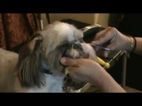 Crystal Blue The Shih Tzu Short Summer Cut Youtube