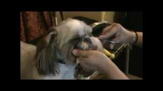 Crystal Blue, The Shih Tzu, Short Summer Cut
