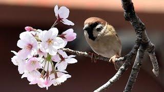 Сезон цветения сакуры официально объявлен в Японии (новости)