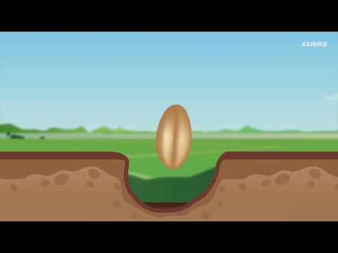 Как сажать пшеницу