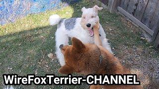 Shiba Inu vs. Wire Fox Terrier