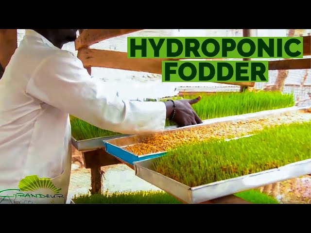 The 'step by step' of how to grow hydroponic barley/wheat fodder in Africa