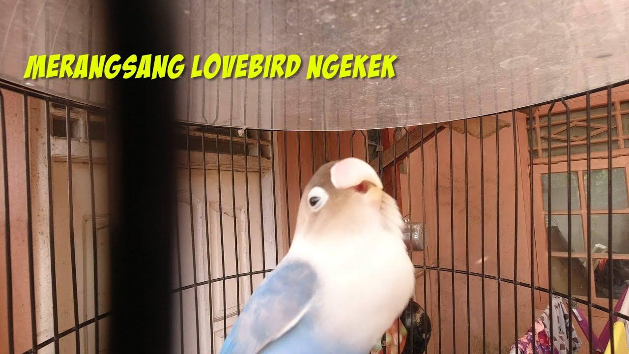 Pancingan lovebird ngetik ngekek panjang ampuh gacor !