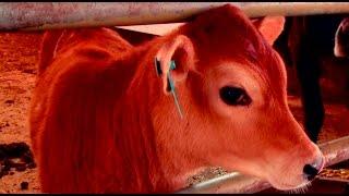 Clonación chachapoyana: Alma C1, científicos peruanos clonaron vaca lechera