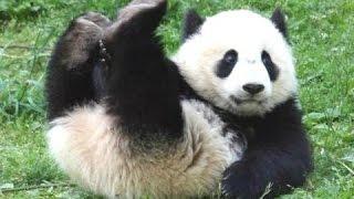 Панда -  Веселые и Милые Панды! Видео СБОРНИК -  Новое HD