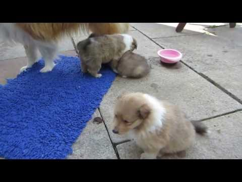 ROUGH COLLIE 4 weeks old PUPPIES