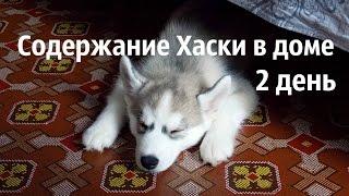 Щенок Сибирского Хаски в новом доме. День 2.