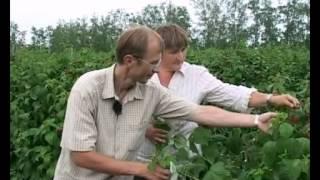 Уход за малиной. 1-летние и 2-летние побеги(Видео подготовлено садовым центром Greensad по материалам передачи