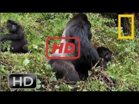 Gorilla Vs  Gorilla -  Animals Attack | National Geographic Hd Animals Attack 2017
