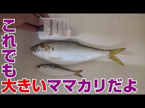 ママカリとコノシロを料理しよう!#1