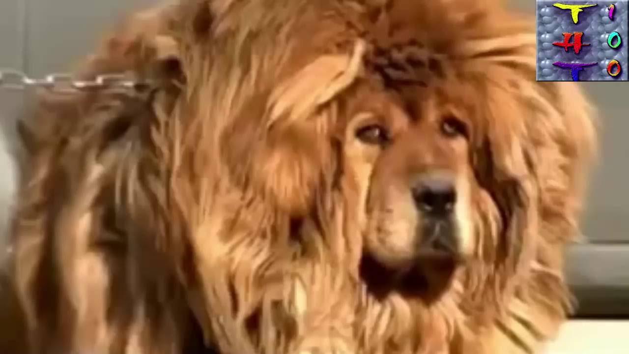 Chó Ngao Tây Tạng To Nhất Thế Giới Youtube