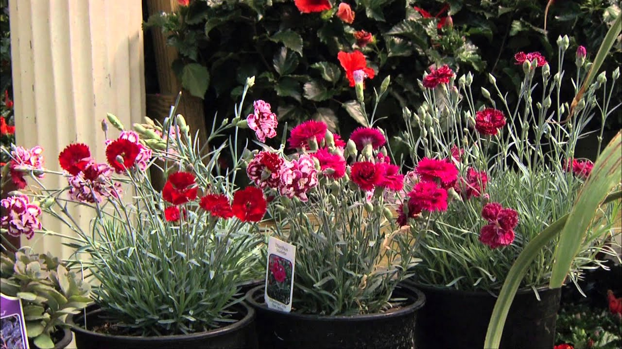 Amazing Exciting Perennials For 2009 At TLC Garden Center YouTube 1080p
