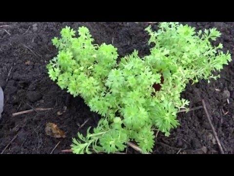 Выращивание жимолости каприфоль посадка, уход