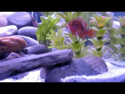 Cichlids - Red Jewel Cichlids laying eggs