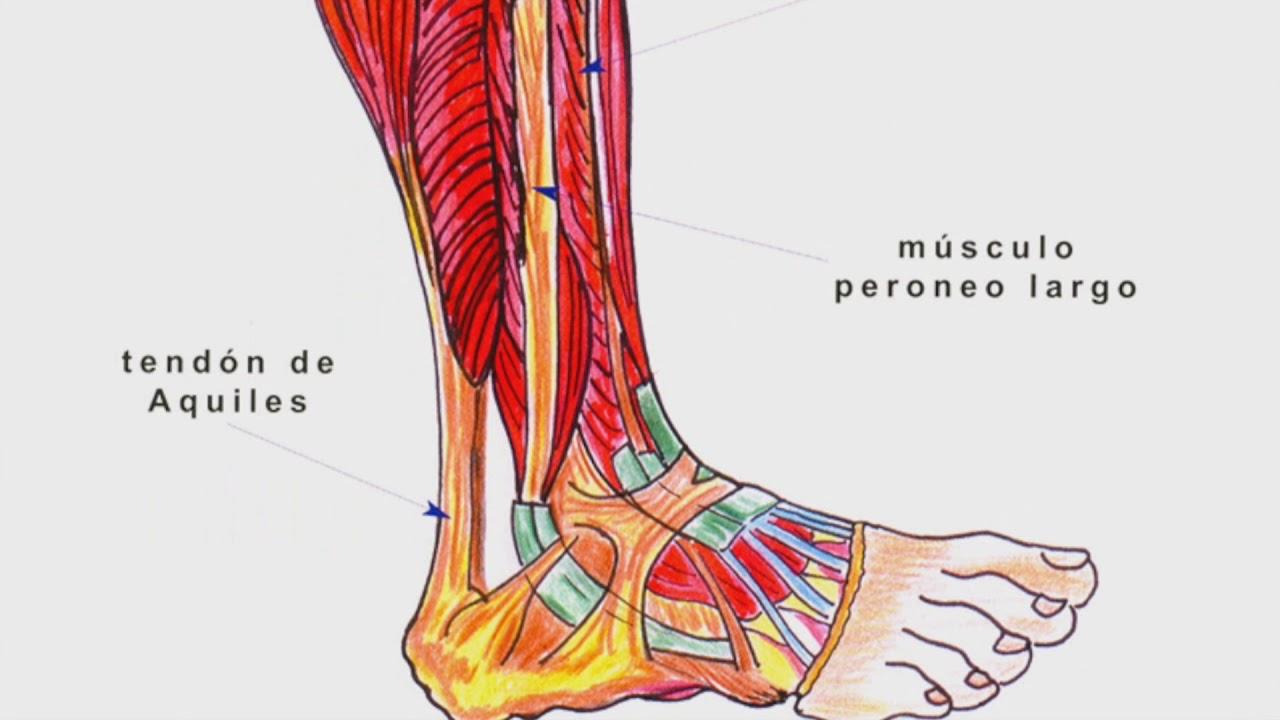 Anatomía de los miembros inferiores- Biomédica B UDELAS :D - YouTube