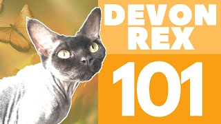 The Devon Rex Cat : Breed & Personality